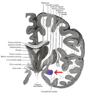 300px-Gray_718-amygdala